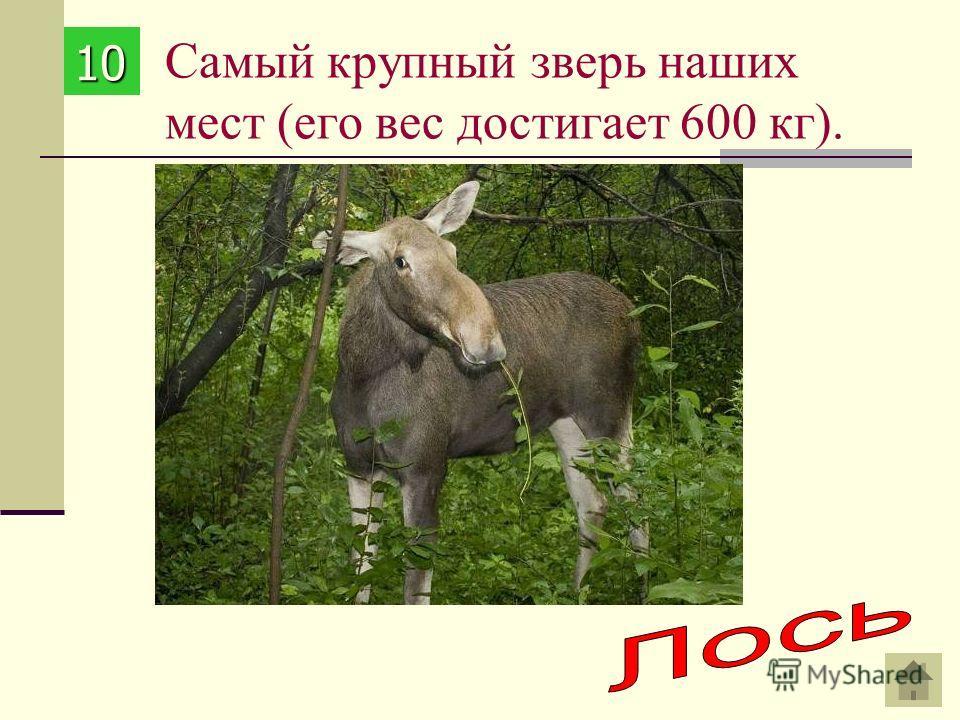 Самый крупный зверь наших мест (его вес достигает 600 кг). 10101010