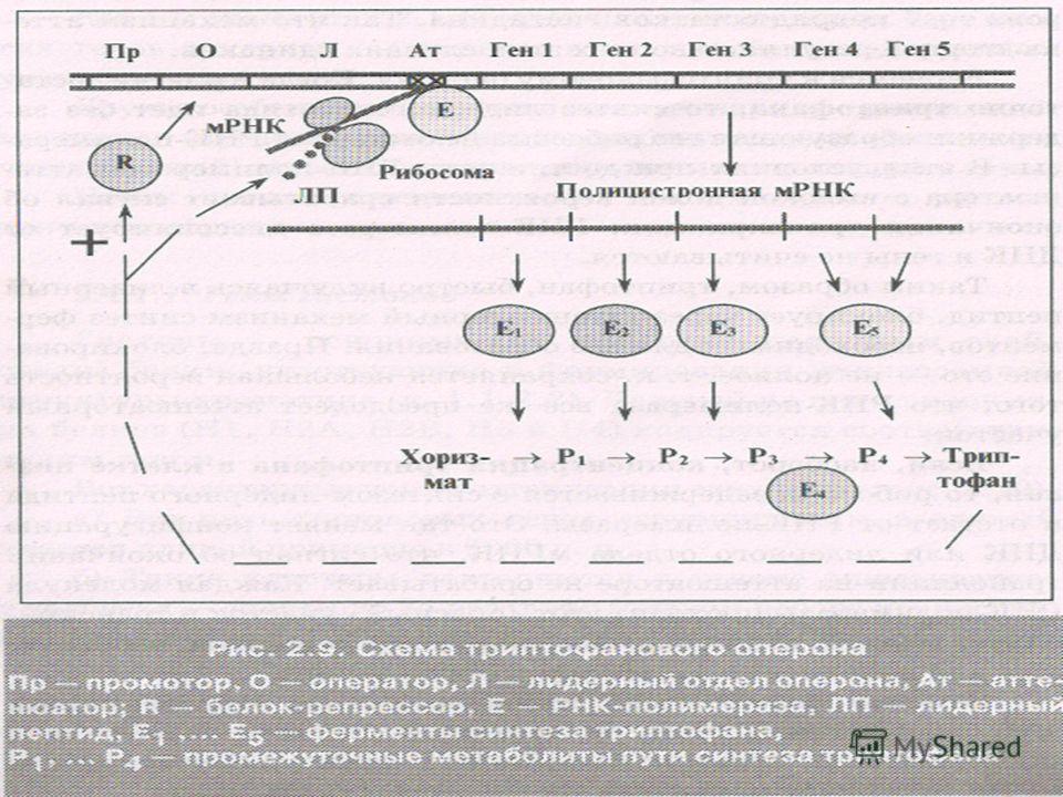 Аттенюатор Это участок ДНК между оператором и генами, на котором при определенных условиях прекращается транскрипция оперона. Это участок ДНК между оператором и генами, на котором при определенных условиях прекращается транскрипция оперона. За промот