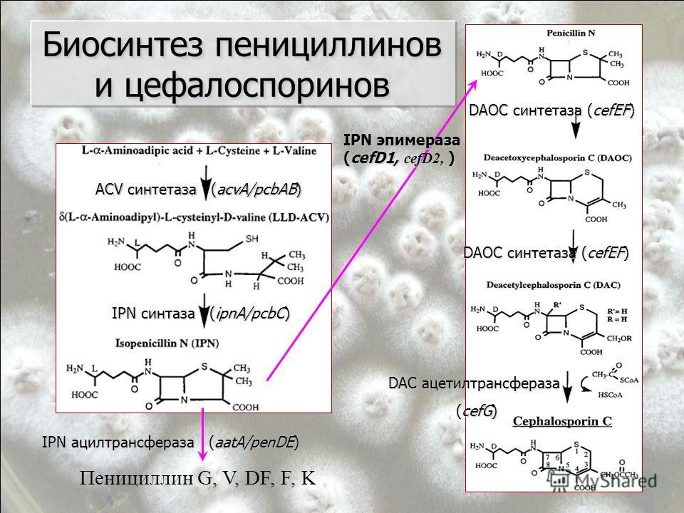 Биосинтез пенициллинов и цефалоспоринов ACV синтетаза (acvA/pcbAB) IPN синтаза (ipnA/pcbC) Пенициллин G, V, DF, F, K IPN ацилтрансфераза (aatA/penDE) DAOC синтетаза (cefEF) DAC ацетилтрансфераза (cefG) (cefG) IPN эпимераза (cefD1, cefD2, )