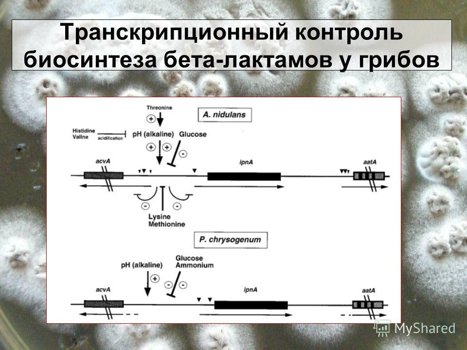 Транскрипционный контроль биосинтеза бета-лактамов у грибов