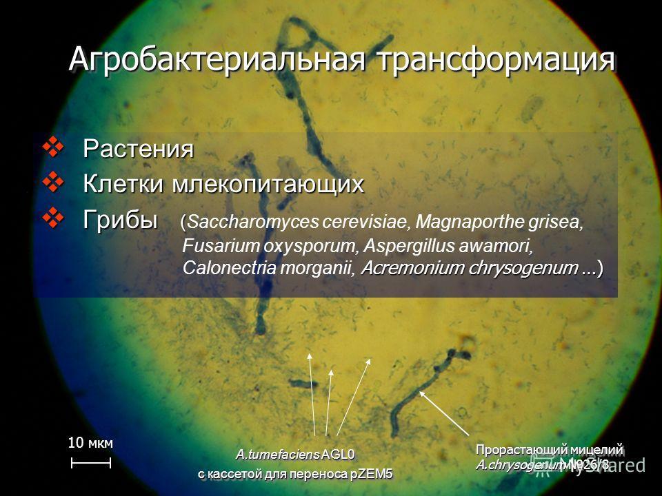 Агробактериальная трансформация Растения Растения Клетки млекопитающих Клетки млекопитающих Грибы ( Грибы (Saccharomyces cerevisiae, Magnaporthe grisea, Fusarium oxysporum, Aspergillus awamori, Acremonium chrysogenum …) Calonectria morganii, Acremoni