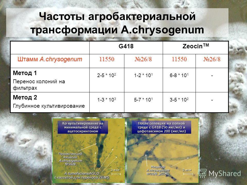 G418Zeocin TM Штамм A.chrysogenum 11550 26/8 11550 Метод 1 Перенос колоний на фильтрах 2-5 * 10 2 1-2 * 10 1 6-8 * 10 1 - Метод 2 Глубинное культивирование 1-3 * 10 3 5-7 * 10 1 3-5 * 10 2 - Частоты агробактериальной трансформации A.chrysogenum
