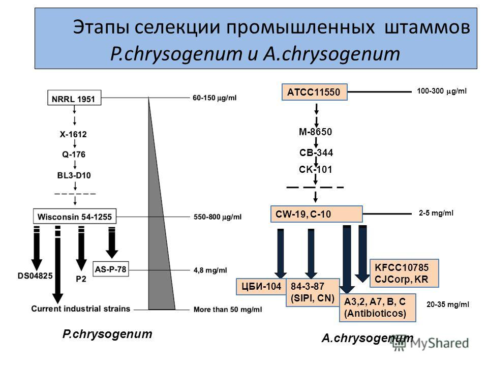 Этапы селекции промышленных штаммов P.chrysogenum и A.chrysogenum 20-35 mg/ml 84-3-87 (SIPI, CN) ATCC11550 CK-101 М-8650 СВ-344 CW-19, C-10 ЦБИ-104 А3,2, А7, B, C (Antibioticos) KFCC10785 CJCorp, KR 100-300 g/ml 2-5 mg/ml P.chrysogenum А.chrysogenum