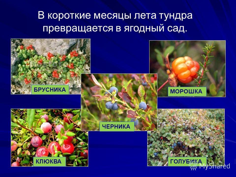 В короткие месяцы лета тундра превращается в ягодный сад. БРУСНИКА МОРОШКА КЛЮКВА ГОЛУБИКА ЧЕРНИКА