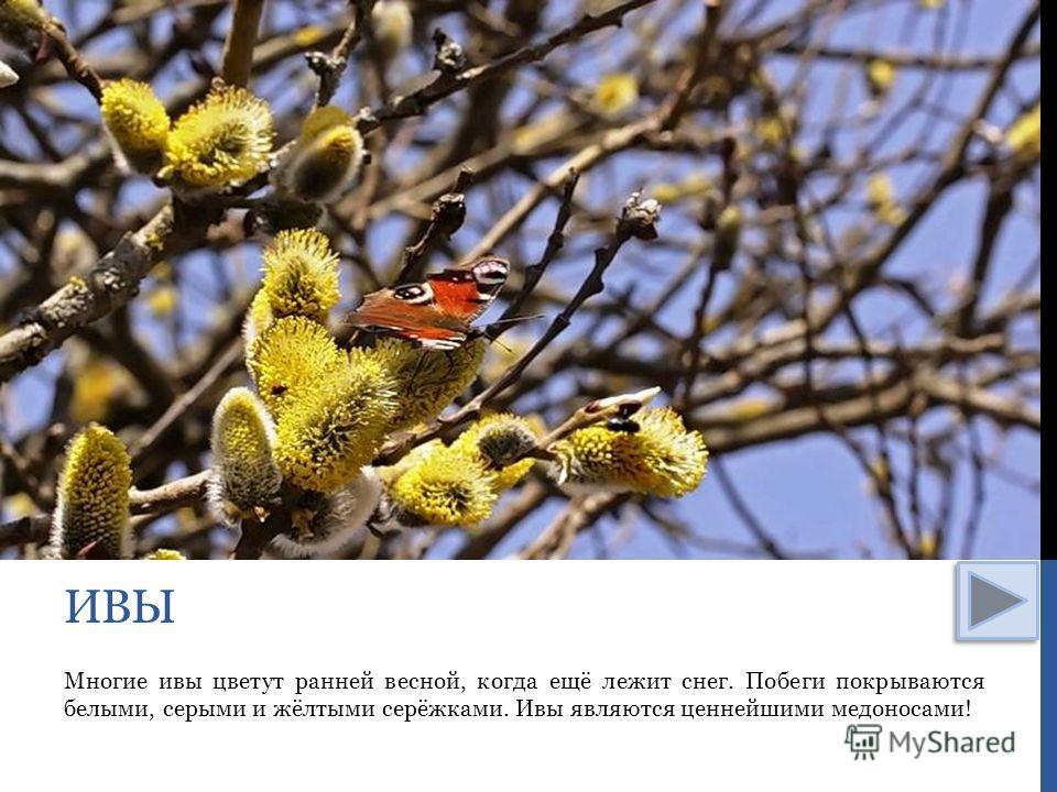 Многие ивы цветут ранней весной, когда ещё лежит снег. Побеги покрываются белыми, серыми и жёлтыми серёжками. Ивы являются ценнейшими медоносами! ИВЫ