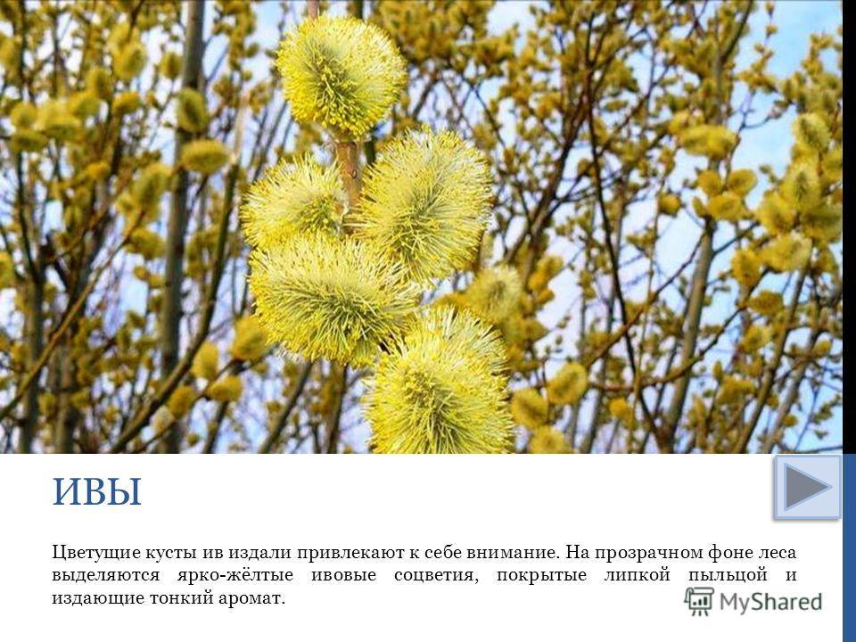 Цветущие кусты ив издали привлекают к себе внимание. На прозрачном фоне леса выделяются ярко-жёлтые ивовые соцветия, покрытые липкой пыльцой и издающие тонкий аромат. ИВЫ