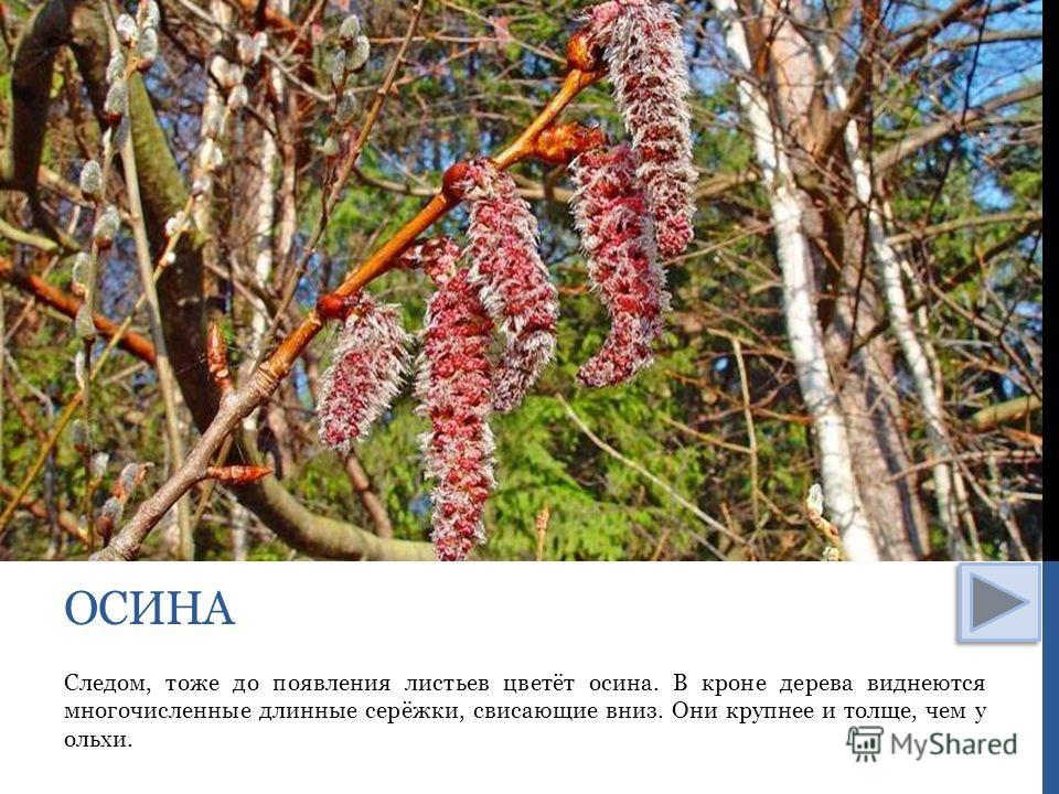 Следом, тоже до появления листьев цветёт осина. В кроне дерева виднеются многочисленные длинные серёжки, свисающие вниз. Они крупнее и толще, чем у ольхи. ОСИНА