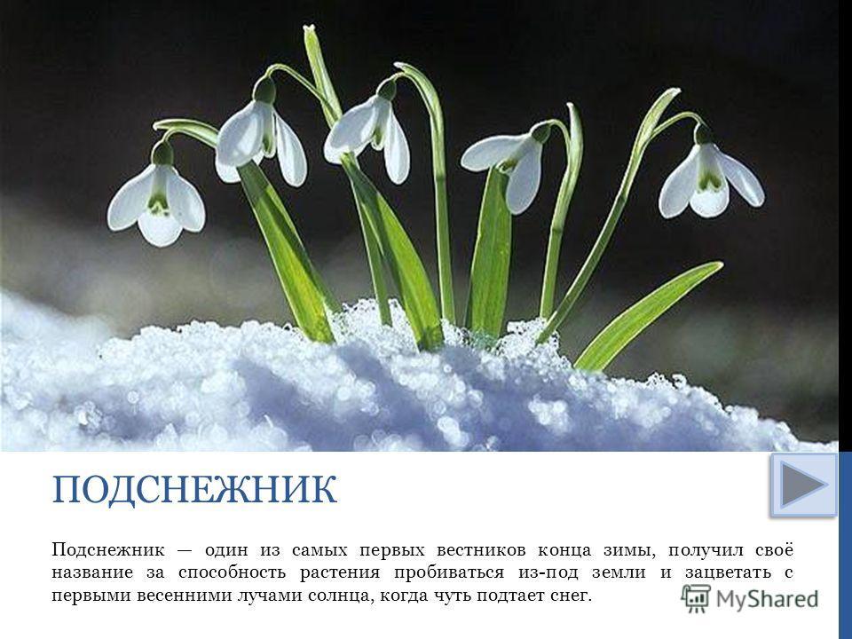 Подснежник один из самых первых вестников конца зимы, получил своё название за способность растения пробиваться из-под земли и зацветать с первыми весенними лучами солнца, когда чуть подтает снег. ПОДСНЕЖНИК
