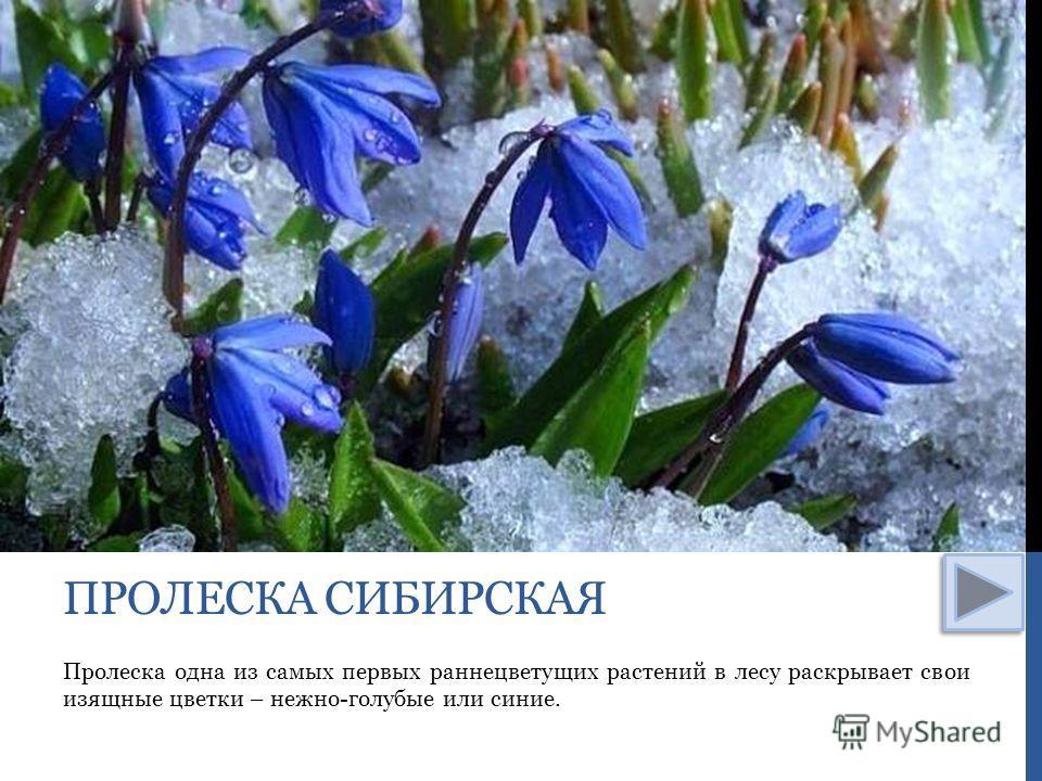 Пролеска одна из самых первых раннецветущих растений в лесу раскрывает свои изящные цветки – нежно-голубые или синие. ПРОЛЕСКА СИБИРСКАЯ