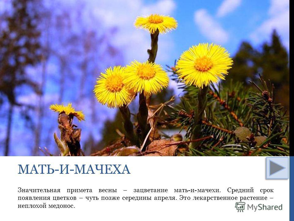 Значительная примета весны – зацветание мать-и-мачехи. Средний срок появления цветков – чуть позже середины апреля. Это лекарственное растение – неплохой медонос. МАТЬ-И-МАЧЕХА