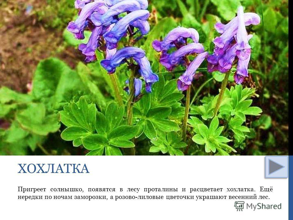 Пригреет солнышко, появятся в лесу проталины и расцветает хохлатка. Ещё нередки по ночам заморозки, а розово-лиловые цветочки украшают весенний лес. ХОХЛАТКА