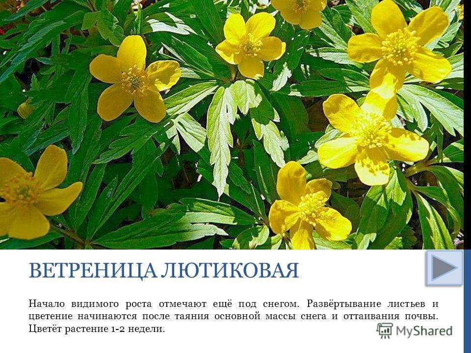 Начало видимого роста отмечают ещё под снегом. Развёртывание листьев и цветение начинаются после таяния основной массы снега и оттаивания почвы. Цветёт растение 1-2 недели. ВЕТРЕНИЦА ЛЮТИКОВАЯ