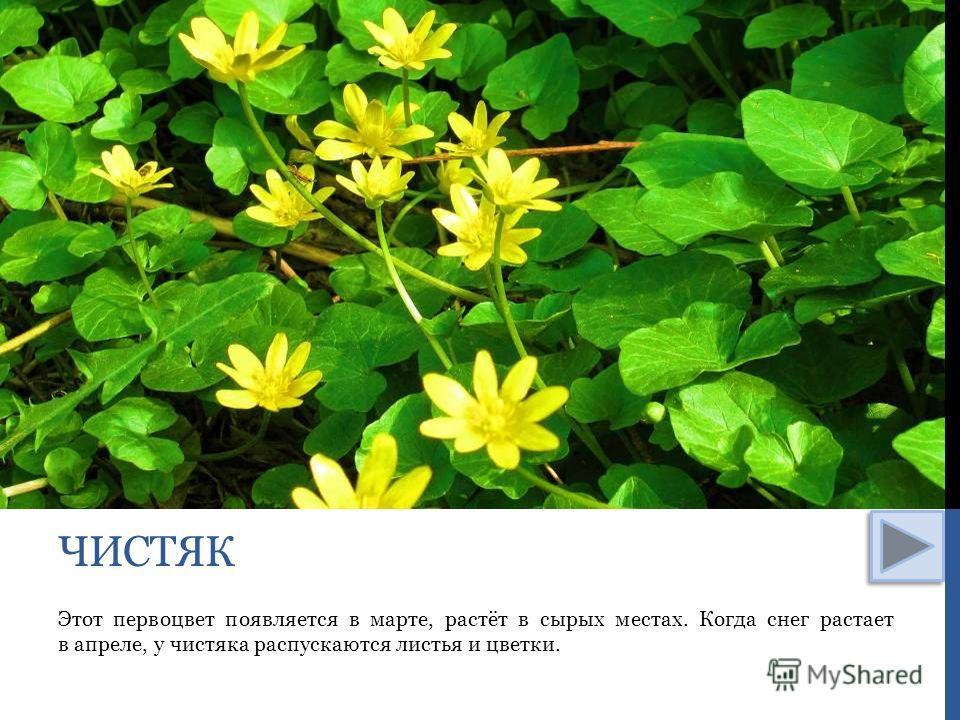 Этот первоцвет появляется в марте, растёт в сырых местах. Когда снег растает в апреле, у чистяка распускаются листья и цветки. ЧИСТЯК