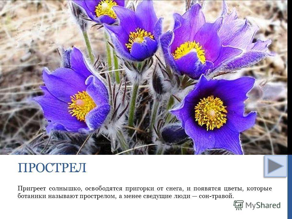 Пригреет солнышко, освободятся пригорки от снега, и появятся цветы, которые ботаники называют прострелом, а менее сведущие люди сон-травой. ПРОСТРЕЛ