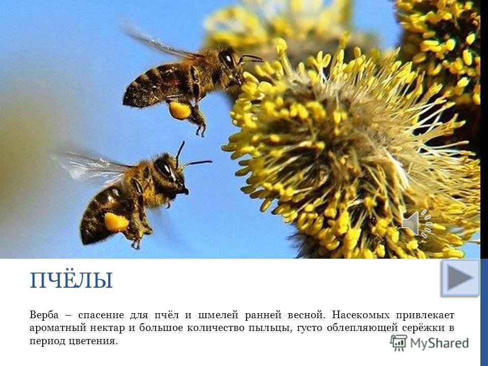 Верба – спасение для пчёл и шмелей ранней весной. Насекомых привлекает ароматный нектар и большое количество пыльцы, густо облепляющей серёжки в период цветения. ПЧЁЛЫ