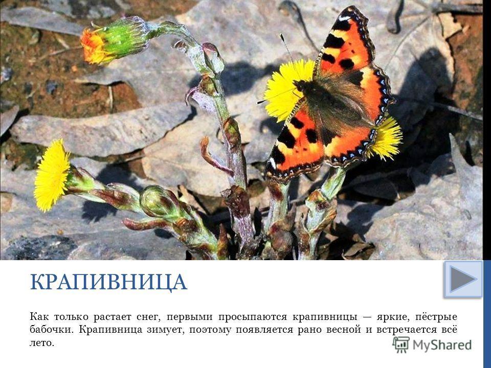 Как только растает снег, первыми просыпаются крапивницы яркие, пёстрые бабочки. Крапивница зимует, поэтому появляется рано весной и встречается всё лето. КРАПИВНИЦА