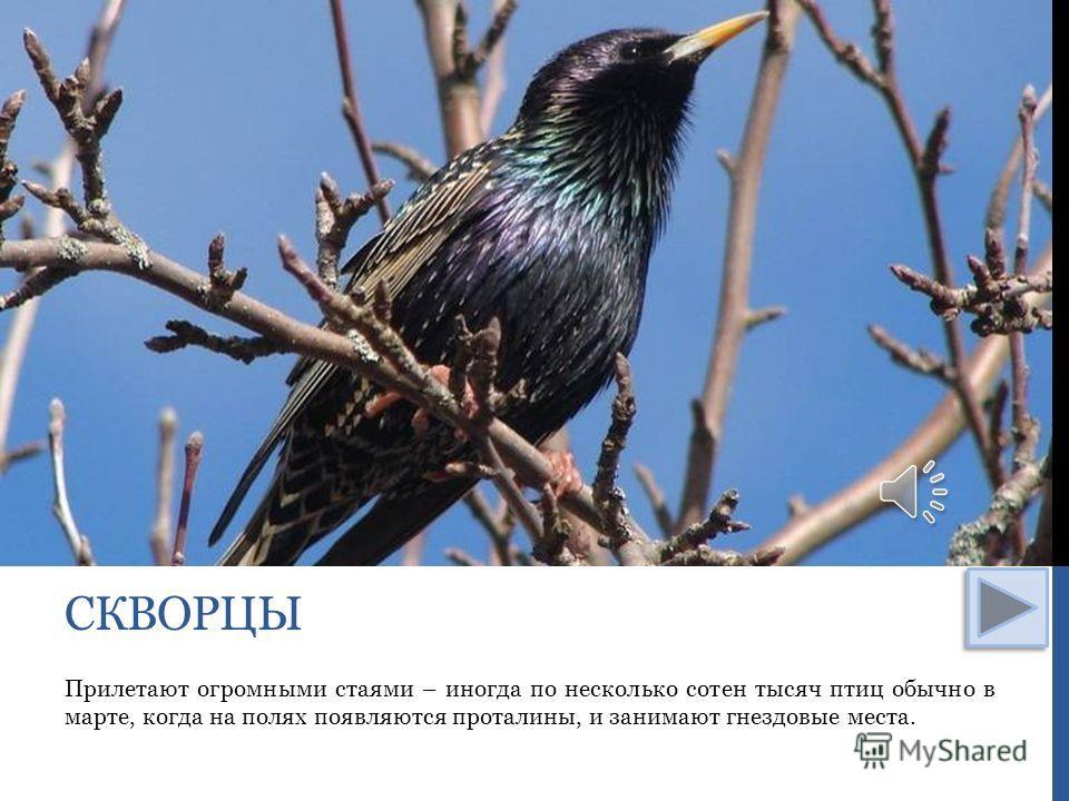 Прилетают огромными стаями – иногда по несколько сотен тысяч птиц обычно в марте, когда на полях появляются проталины, и занимают гнездовые места. СКВОРЦЫ
