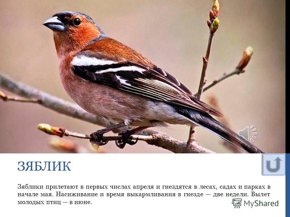 Зяблики прилетают в первых числах апреля и гнездятся в лесах, садах и парках в начале мая. Насиживание и время выкармливания в гнезде две недели. Вылет молодых птиц в июне. ЗЯБЛИК