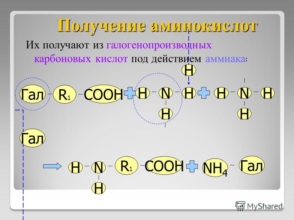 Получение аминокислот Их получают из галогенопроизводных карбоновых кислот под действием аммиака : R1R1 Гал COOH HN H HHNH H Гал H R1R1 COOH HN H NH 4