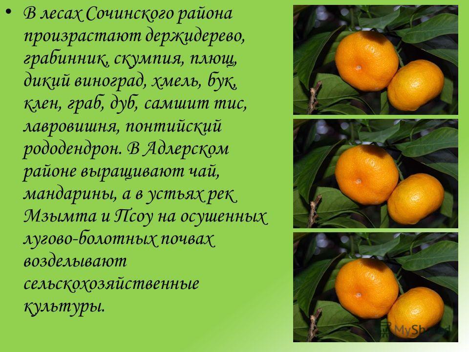 В лесах Сочинского района произрастают держидерево, грабинник, скумпия, плющ, дикий виноград, хмель, бук, клен, граб, дуб, самшит тис, лавровишня, понтийский рододендрон. В Адлерском районе выращивают чай, мандарины, а в устьях рек Мзымта и Псоу на о