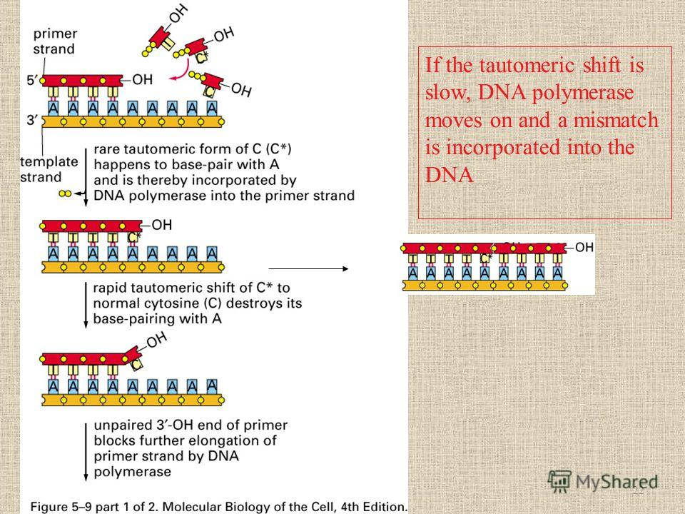 If the tautomeric shift is slow, DNA polymerase moves on and a mismatch is incorporated into the DNA 22