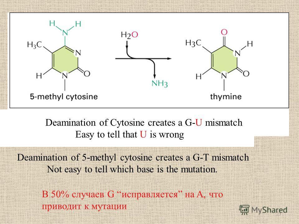 Deamination of Cytosine creates a G-U mismatch Easy to tell that U is wrong Deamination of 5-methyl cytosine creates a G-T mismatch Not easy to tell which base is the mutation. В 50% случаев G исправляется на A, что приводит к мутации 23