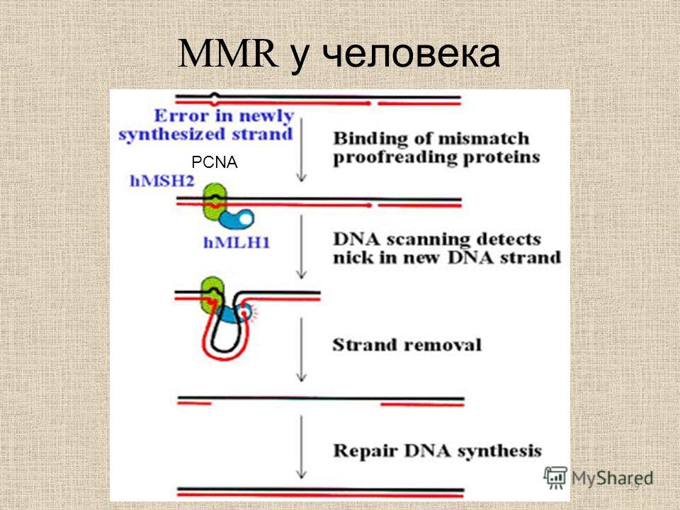 MMR у человека PCNA 29