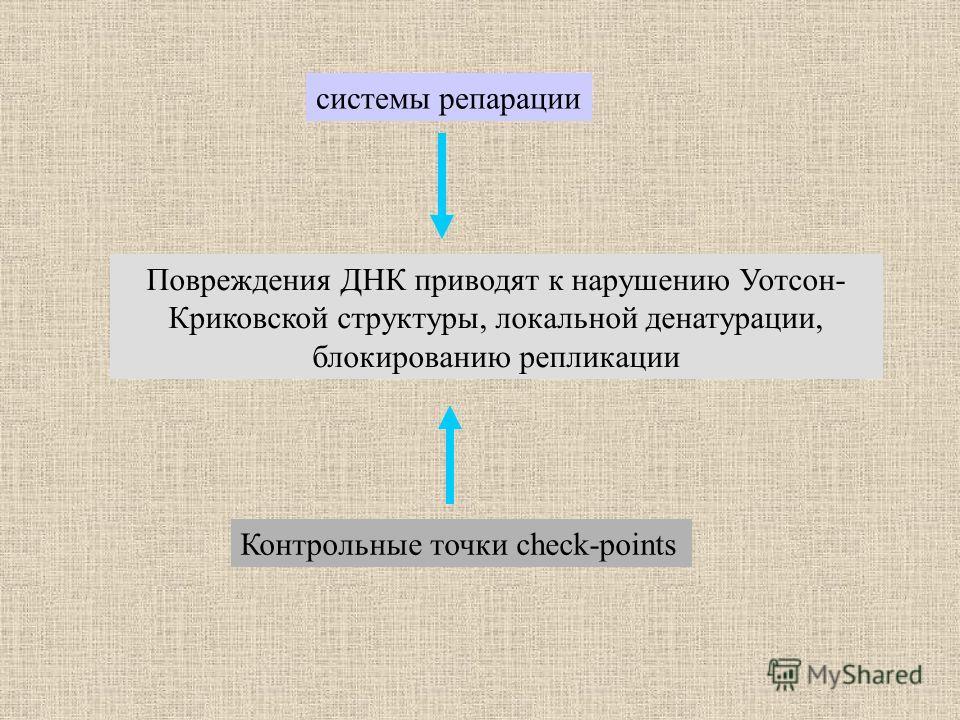 Повреждения ДНК приводят к нарушению Уотсон- Криковской структуры, локальной денатурации, блокированию репликации системы репарации Контрольные точки check-points