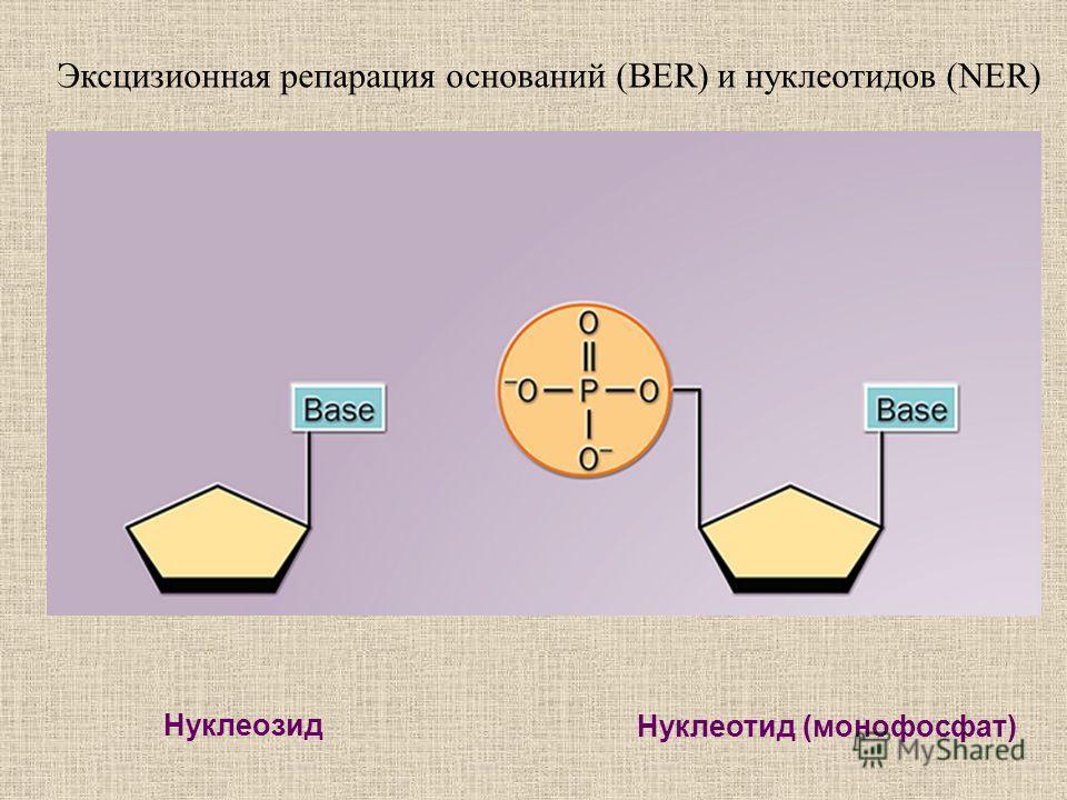 Нуклеозид Нуклеотид (монофосфат) Эксцизионная репарация оснований (BER) и нуклеотидов (NER)