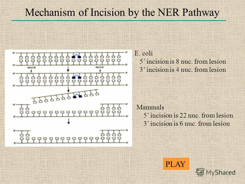 Mechanism of Incision by the NER Pathway E. coli 5 incision is 8 nuc. from lesion 3 incision is 4 nuc. from lesion Mammals 5 incision is 22 nuc. from lesion 3 incision is 6 nuc. from lesion 37 PLAY
