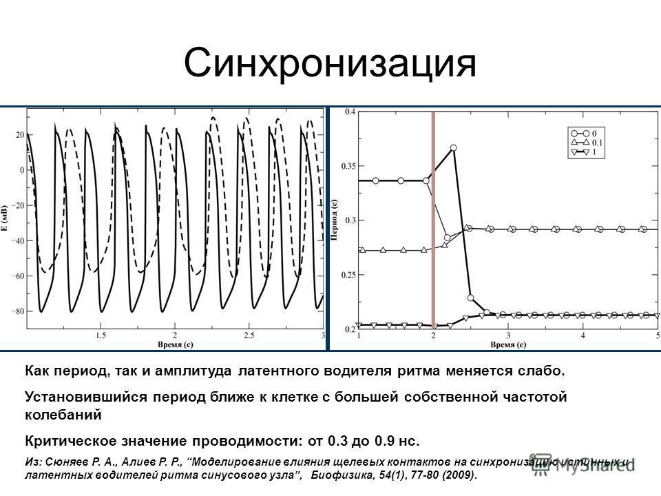 Синхронизация Как период, так и амплитуда латентного водителя ритма меняется слабо. Установившийся период ближе к клетке с большей собственной частотой колебаний Критическое значение проводимости: от 0.3 до 0.9 нс. Из: Моделирование влияния щелевых к