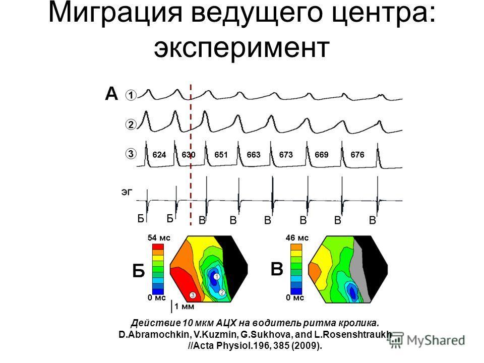 Миграция ведущего центра: эксперимент Действие 10 мкм АЦХ на водитель ритма кролика. D.Abramochkin, V.Kuzmin, G.Sukhova, and L.Rosenshtraukh //Acta Physiol.196, 385 (2009).