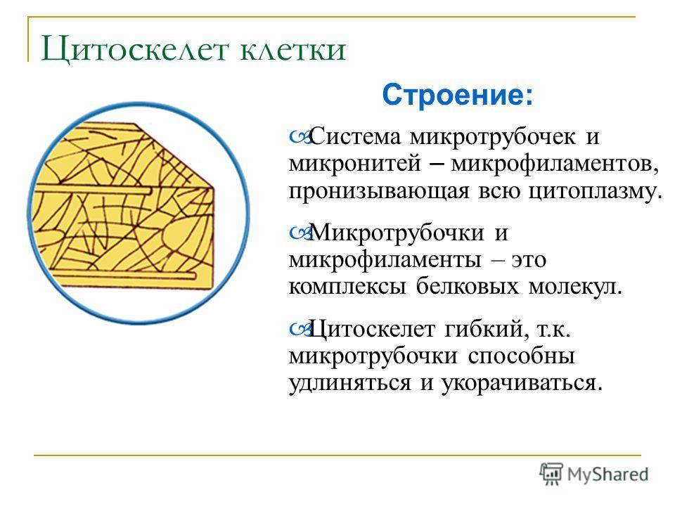 Строение: С истема микротрубочек и микронитей – микрофиламентов, пронизывающая всю цитоплазму. М икротрубочки и микрофиламенты – это комплексы белковых молекул. Ц итоскелет гибкий, т.к. микротрубочки способны удлиняться и укорачиваться.