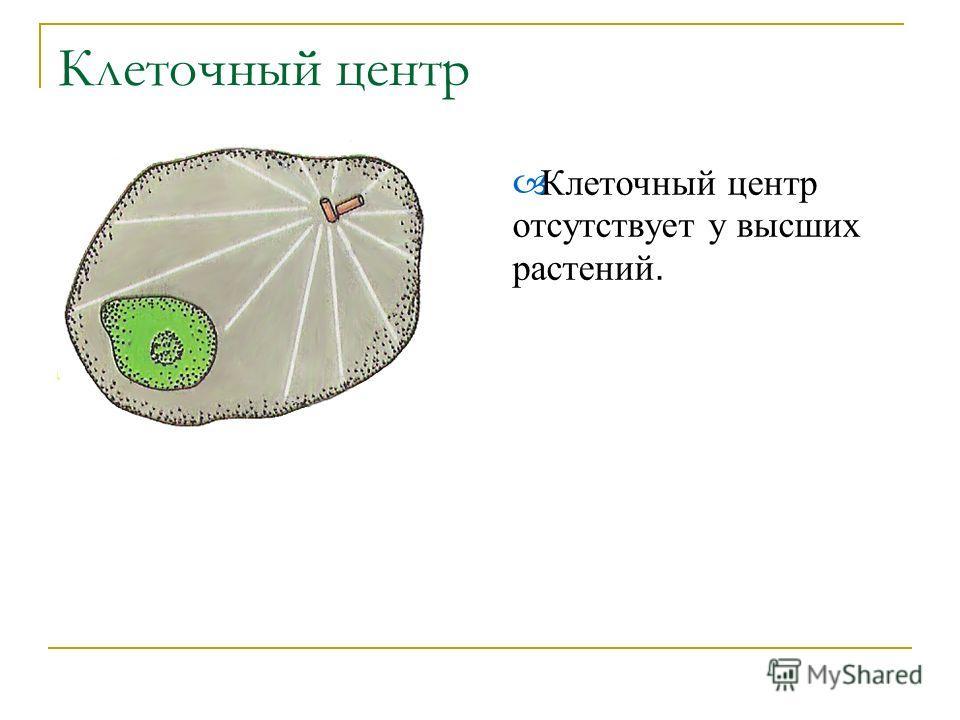 Клеточный центр К леточный центр отсутствует у высших растений.