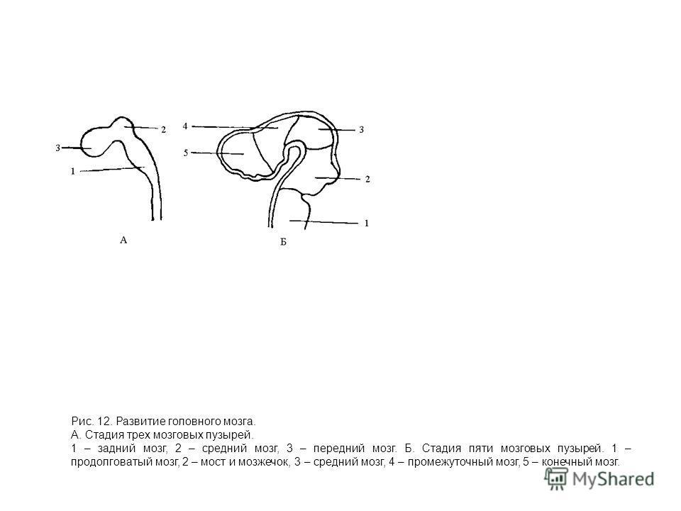 Рис. 12. Развитие головного мозга. А. Стадия трех мозговых пузырей. 1 – задний мозг, 2 – средний мозг, 3 – передний мозг. Б. Стадия пяти мозговых пузырей. 1 – продолговатый мозг, 2 – мост и мозжечок, 3 – средний мозг, 4 – промежуточный мозг, 5 – коне