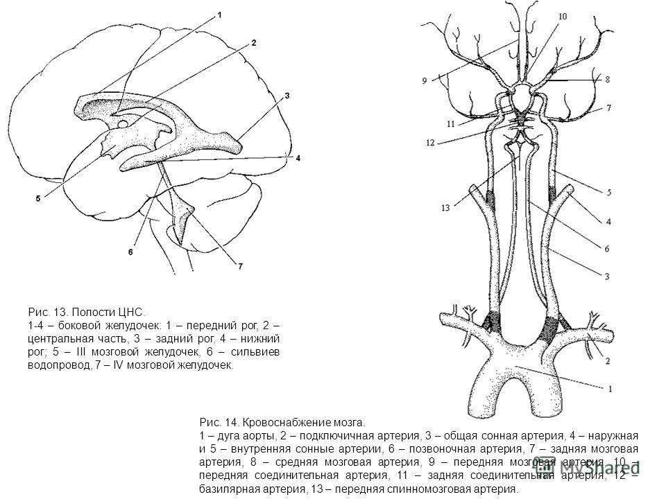 Рис. 13. Полости ЦНС. 1-4 – боковой желудочек: 1 – передний рог, 2 – центральная часть, 3 – задний рог, 4 – нижний рог; 5 – III мозговой желудочек, 6 – сильвиев водопровод, 7 – IV мозговой желудочек. Рис. 14. Кровоснабжение мозга. 1 – дуга аорты, 2 –