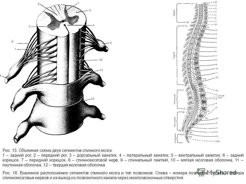 Рис. 15. Объемная схема двух сегментов спинного мозга. 1 – задний рог, 2 – передний рог, 3 – дорсальный канатик, 4 – латеральный канатик, 5 – вентральный канатик, 6 – задний корешок, 7 – передний корешок, 8 – спинномозговой нерв, 9 – спинальный гангл
