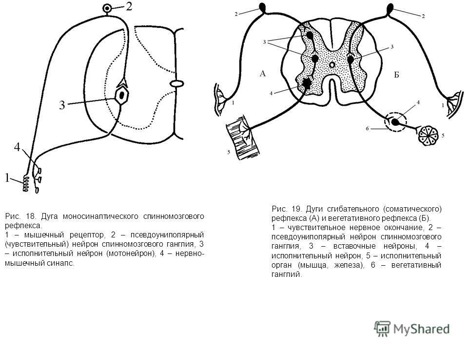 Рис. 18. Дуга моносинаптического спинномозгового рефлекса. 1 – мышечный рецептор, 2 – псевдоуниполярный (чувствительный) нейрон спинномозгового ганглия, 3 – исполнительный нейрон (мотонейрон), 4 – нервно- мышечный синапс. Рис. 19. Дуги сгибательного