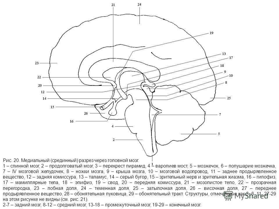 Рис. 20. Медиальный (срединный) разрез через головной мозг. 1 – спинной мозг, 2 – продолговатый мозг, 3 – перекрест пирамид, 4 – варолиев мост, 5 – мозжечок, 6 – полушарие мозжечка, 7 – IV мозговой желудочек, 8 – ножки мозга, 9 – крыша мозга, 10 – мо