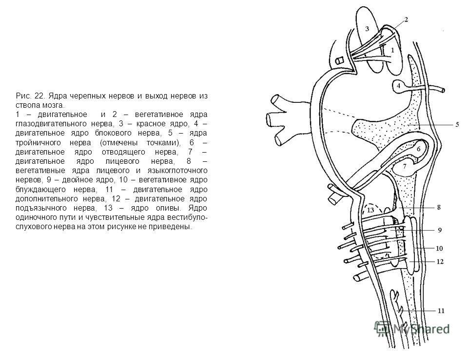 Рис. 22. Ядра черепных нервов и выход нервов из ствола мозга. 1 – двигательное и 2 – вегетативное ядра глазодвигательного нерва, 3 – красное ядро, 4 – двигательное ядро блокового нерва, 5 – ядра тройничного нерва (отмечены точками), 6 – двигательное