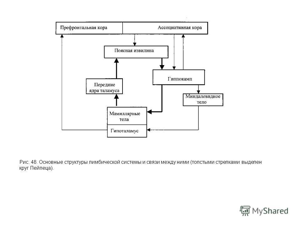 Рис. 48. Основные структуры лимбической системы и связи между ними (толстыми стрелками выделен круг Пейпеца).