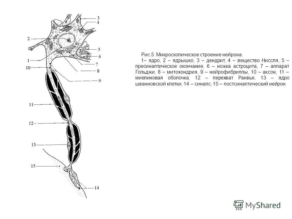 Рис.5. Микроскопическое строение нейрона. 1– ядро, 2 – ядрышко, 3 – дендрит, 4 – вещество Ниссля, 5 – пресинаптическое окончание, 6 – ножка астроцита, 7 – аппарат Гольджи, 8 – митохондрия, 9 – нейрофибриллы, 10 – аксон, 11 – миелиновая оболочка, 12 –