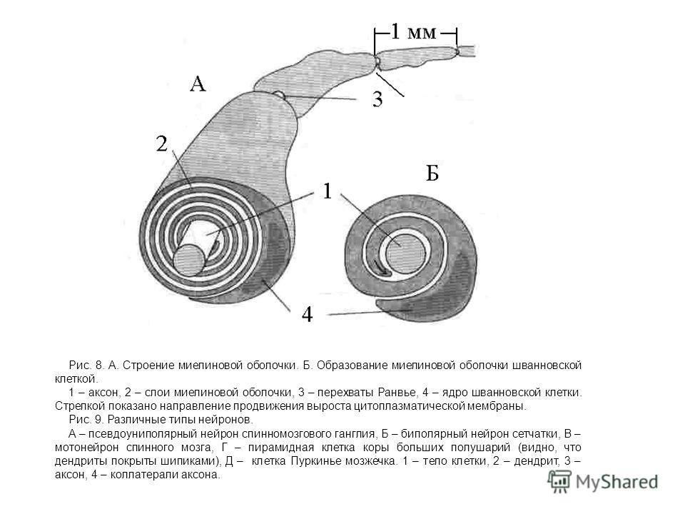 А. Строение миелиновой
