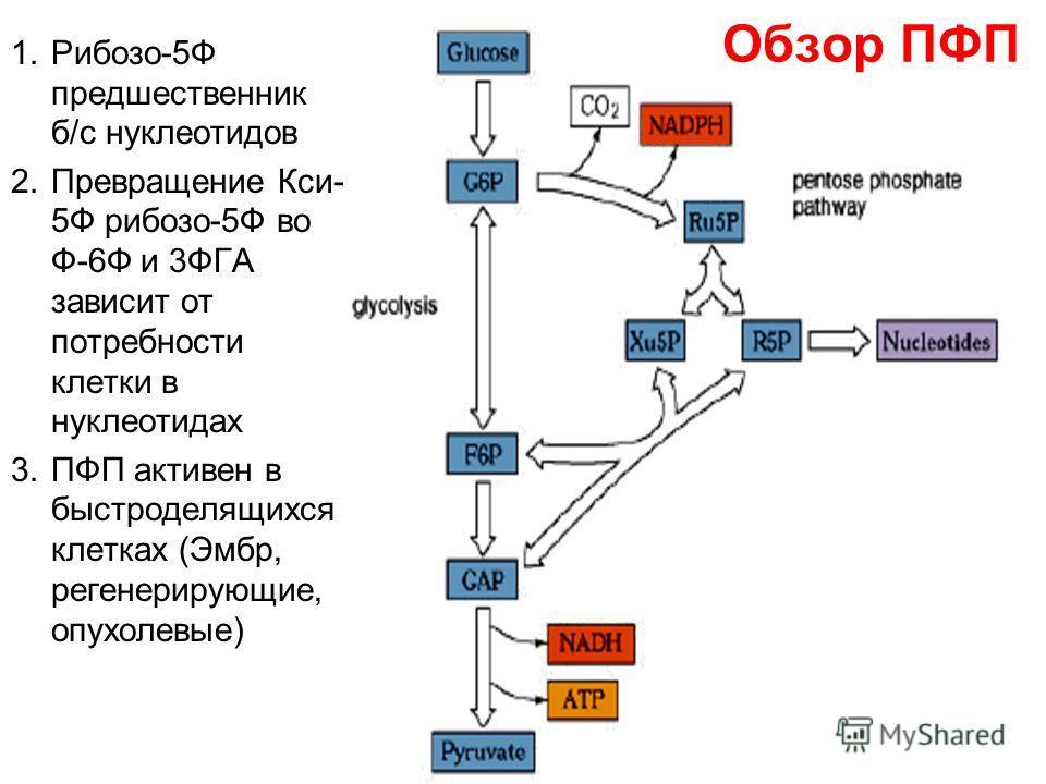 Обзор ПФП 1.Рибозо-5Ф предшественник б/с нуклеотидов 2.Превращение Кси- 5Ф рибозо-5Ф во Ф-6Ф и 3ФГА зависит от потребности клетки в нуклеотидах 3.ПФП активен в быстроделящихся клетках (Эмбр, регенерирующие, опухолевые)