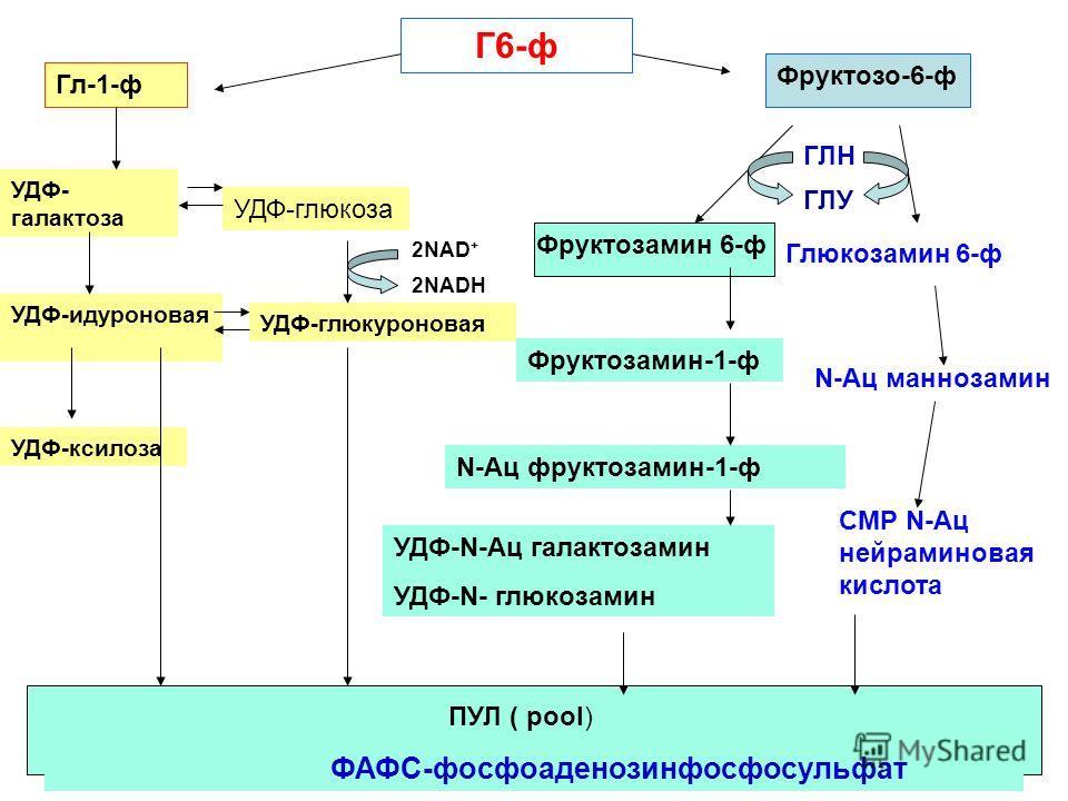 Г6-ф Фруктозо-6-ф Гл-1-ф УДФ- галактоза УДФ-глюкоза Фруктозамин 6-ф ГЛН ГЛУ Фруктозамин-1-ф N-Ац фруктозамин-1-ф УДФ-N-Ац галактозамин УДФ-N- глюкозамин УДФ-идуроновая УДФ-глюкуроновая УДФ-ксилоза ПУЛ ( pool) ФАФС-фосфоаденозинфосфосульфат 2NAD + 2NA