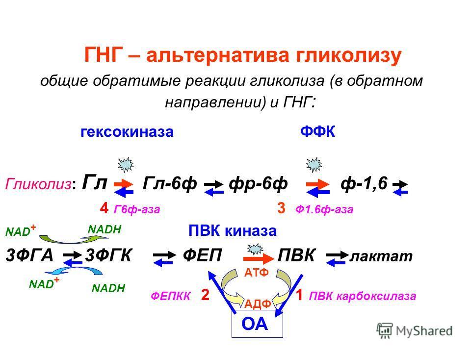ГНГ – альтернатива гликолизу общие обратимые реакции гликолиза (в обратном направлении) и ГНГ : гексокиназа ФФК Гликолиз: Гл Гл-6ф фр-6ф ф-1,6 4 Г6ф-аза 3 Ф1.6ф-аза NAD + ПВК киназа 3ФГА 3ФГК ФЕП ПВК лактат ОА NADH АДФ АТФ 1 ПВК карбоксилазаФЕПКК 2 N