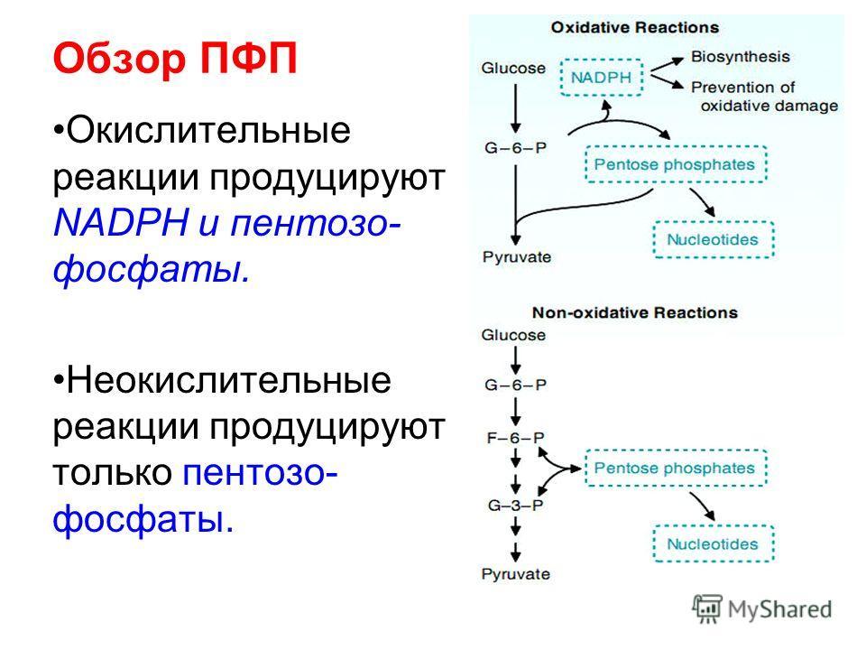 Обзор ПФП Окислительные реакции продуцируют NADPH и пентозо- фосфаты. Неокислительные реакции продуцируют только пентозо- фосфаты.