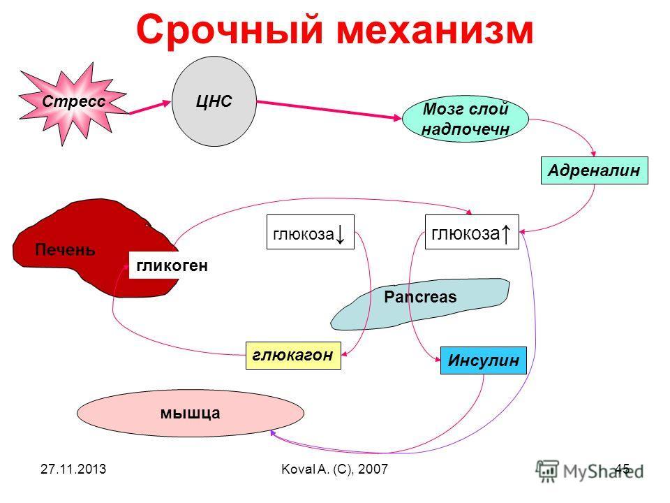 27.11.2013Koval A. (C), 200745 Срочный механизм ЦНС Мозг слой надпочечн Адреналин Стресс Инсулин Pancreas глюкоза глюкагон мышца гликоген
