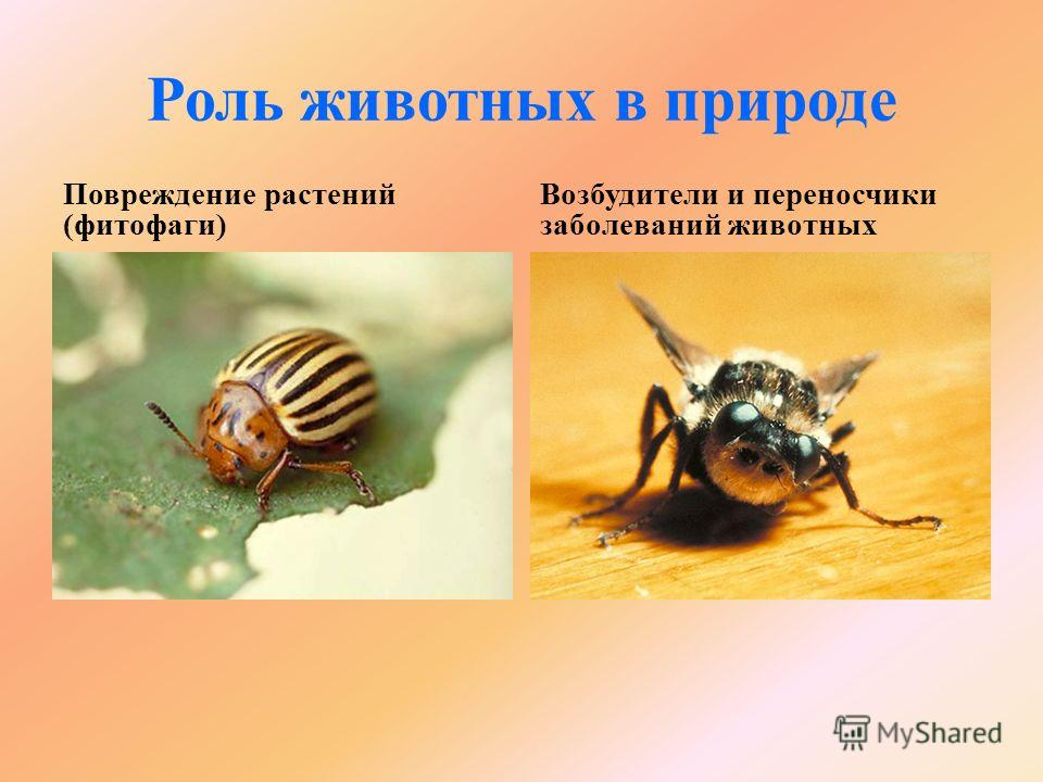 Роль животных в природе Повреждение растений (фитофаги) Возбудители и переносчики заболеваний животных