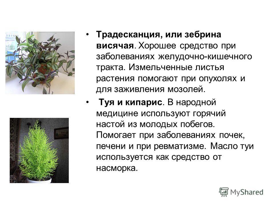 Традесканция, или зебрина висячая. Хорошее средство при заболеваниях желудочно-кишечного тракта. Измельченные листья растения помогают при опухолях и для заживления мозолей. Туя и кипарис. В народной медицине используют горячий настой из молодых побе